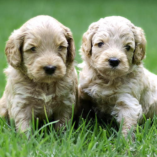 SkyeDoodle Cream Puppies